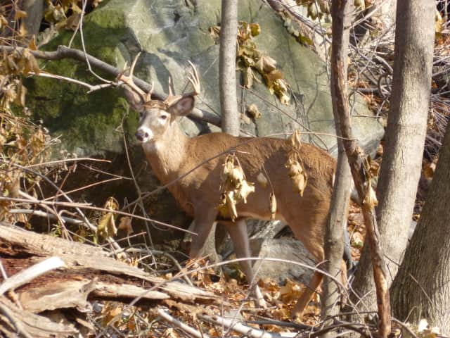The Teatown Lake Reserve plans on using sharpshooters to help control the deer population in the area.