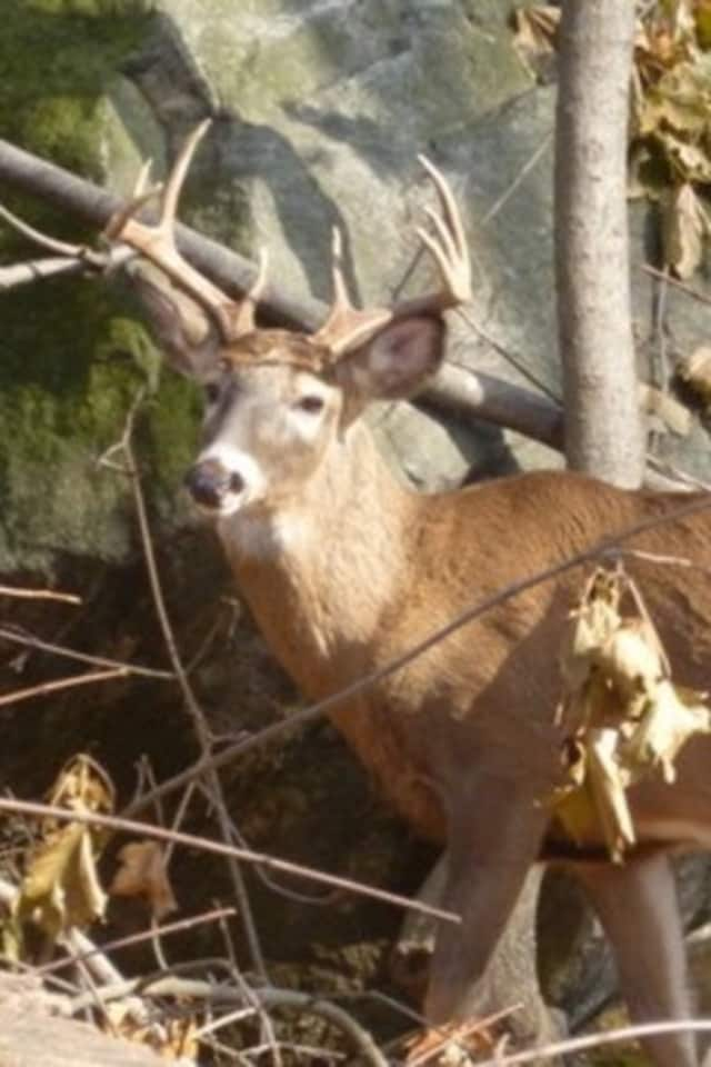 A Cortlandt parking enforcement officer was injured by a buck on her property.