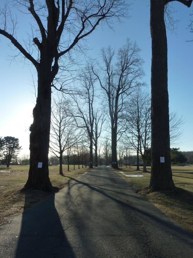 A total of seven trees along the entrance of Longshore Club Park in Westport will be cut down to make room for roadway improvements.