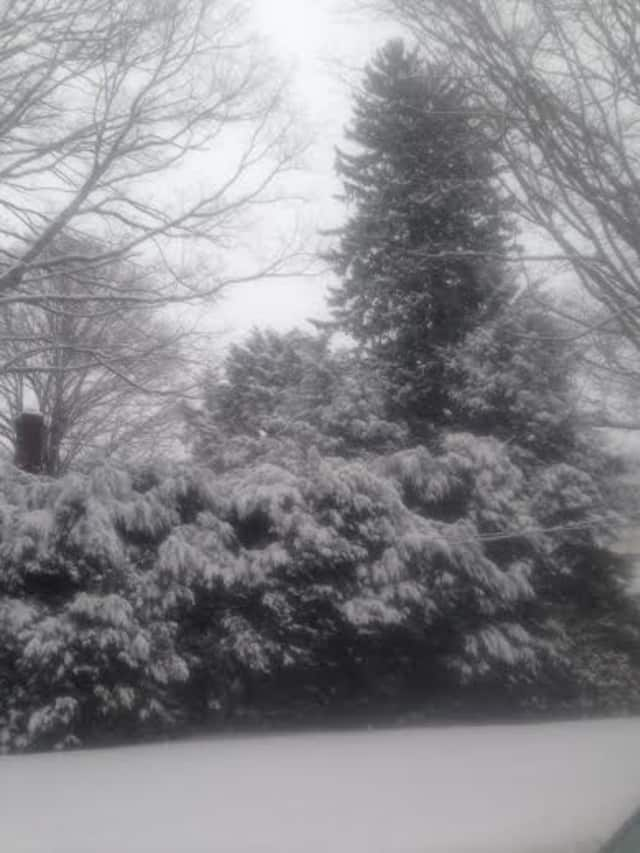 A heavy, wet snow blankets a row of evergreens in Danbury after Monday's storm. Even more snow is expected to fall Wednesday and this weekend.