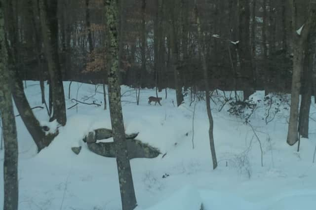 A bobcat was spotted walking in the woods behind a home on Deer Run Road on Saturday.