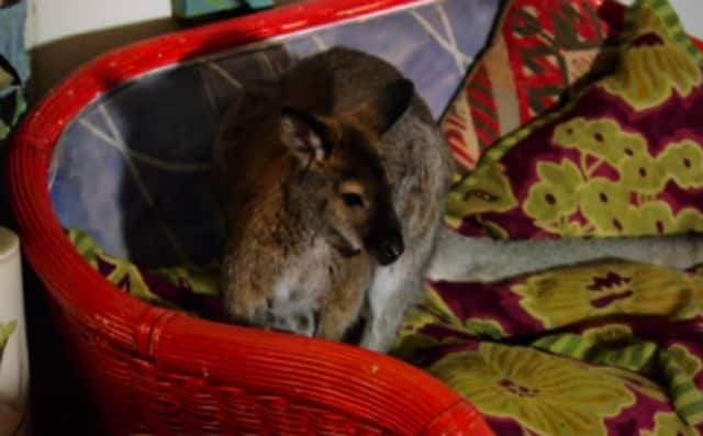 Sightings of Indy, a missing wallaby, have been reported throughout North Salem.