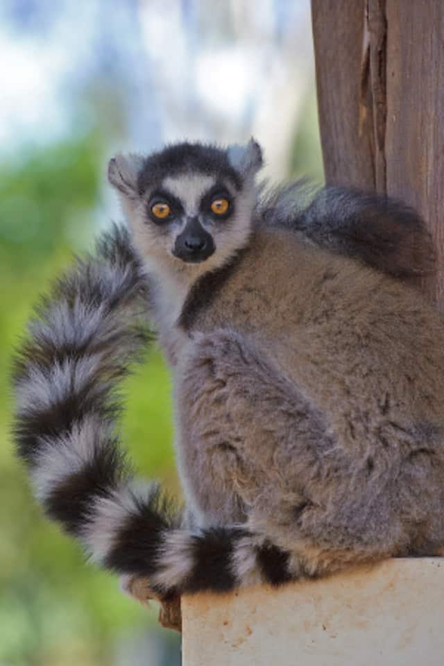 "The Martime Aquarium at Norwalk is set to pen the IMAX film ""Island Of Lemurs: Madagascar"" on Friday, April 4."