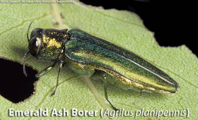 The Department of Energy and Environmental Protection decided to turn trees in Redding's Putnam Park into lumber before they become infected with Emerald Ash Borers (pictured), an invasive and destructive insect, the Redding Pilot said.