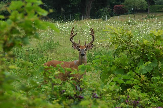 Bow hunting season is part of Westchester's Adaptive Deer Management program.