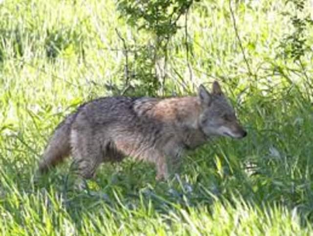 The Town of New Castle approved two new groups to help minimize coyote attacks in the area.