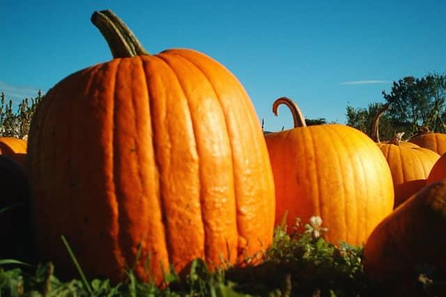 Pick Pumpkins and participate in a mushroom walk at Muscoot Farm.