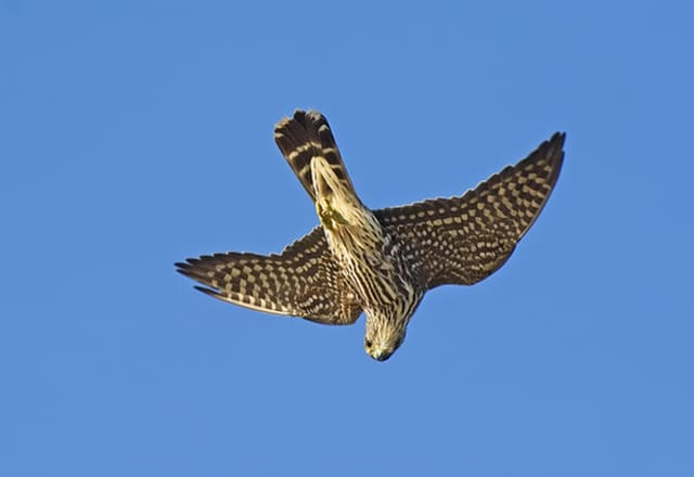 Hawk watching is among the many activities offered at Bedford Audubon Society.