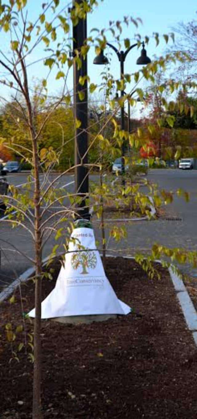 The Tree Conservancy of Darien planted 14 China Snow Tree Lilacs in the CVS parking lot islands.