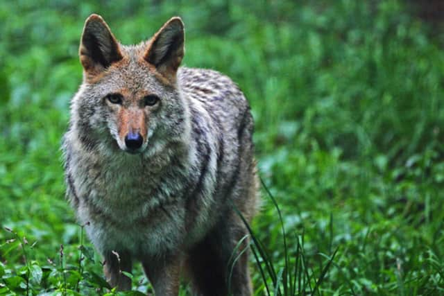 A coyote that appeared to have been hit by a car was found and put down on the Woodway Country Club golf course in Darien, police said.
