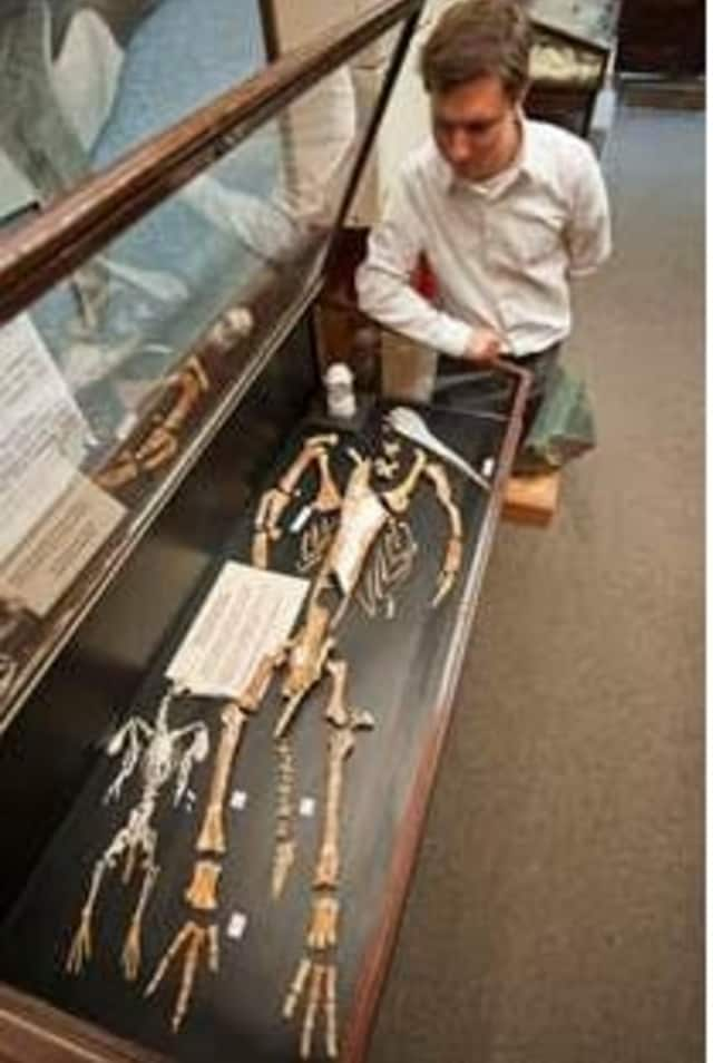 Dr. Daniel Ksepka, Curator of Science at the Bruce Museum, examines Kairuku fossils.