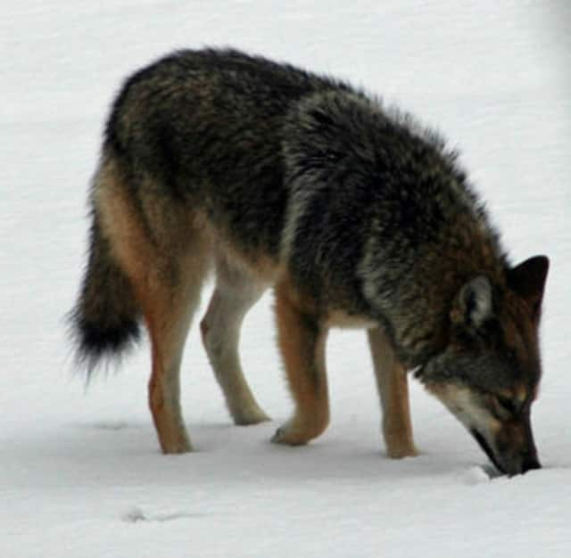 A number of coyote sightings have been reported in Darien.