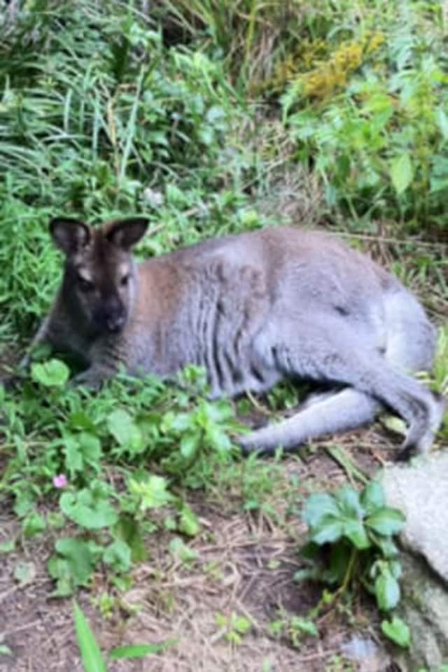 Indy, a missing wallaby.