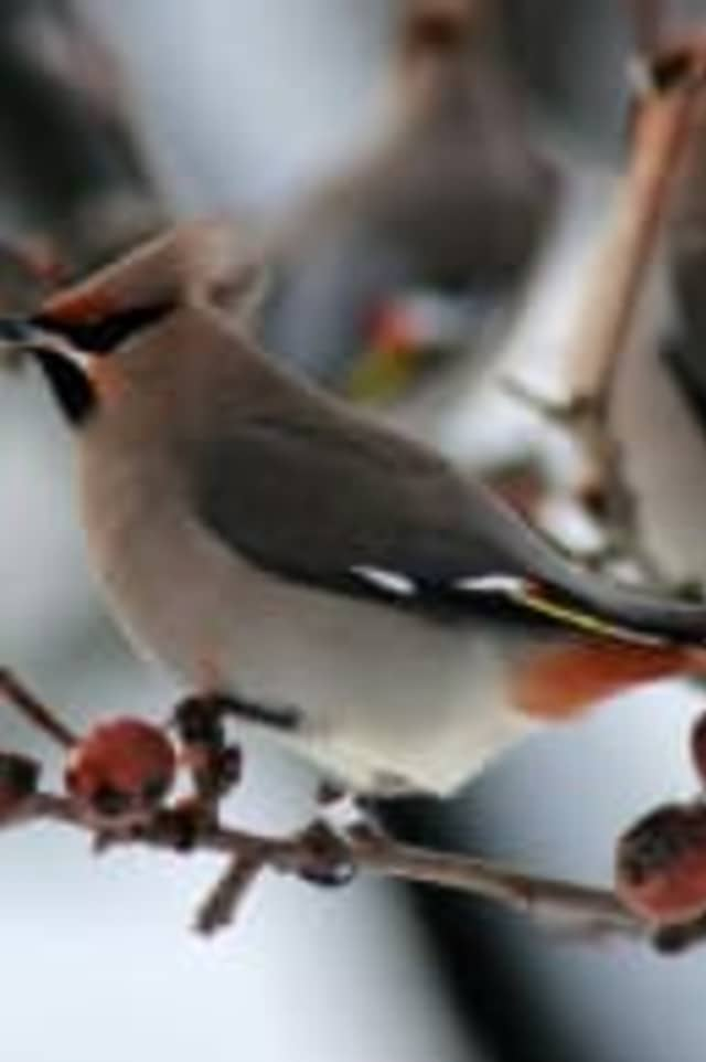 New Canaan Library will host Backyard Birding with the Connecticut Audubon Society on Saturday, Jan. 17.