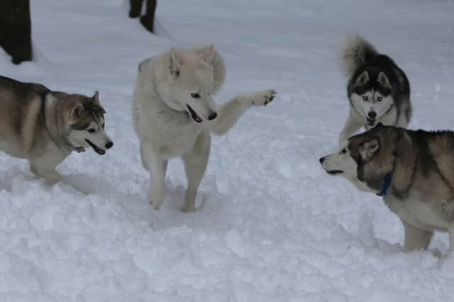 Four Siberian Huskies owned by the Peyreigne family in Weston pranced and danced in Saturday's snow.