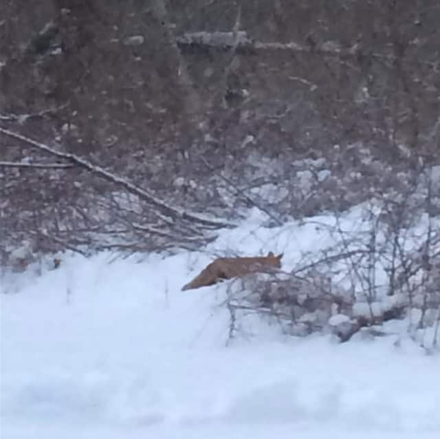 An animal walking through the snow on Monday afternoon. It is not known what species the animal is.
