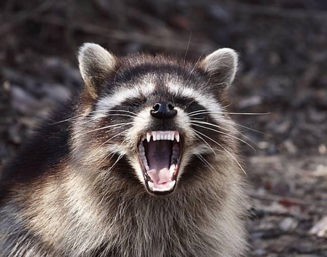 A Ridgefield man was attacked by a rabid raccoon Feb. 20.