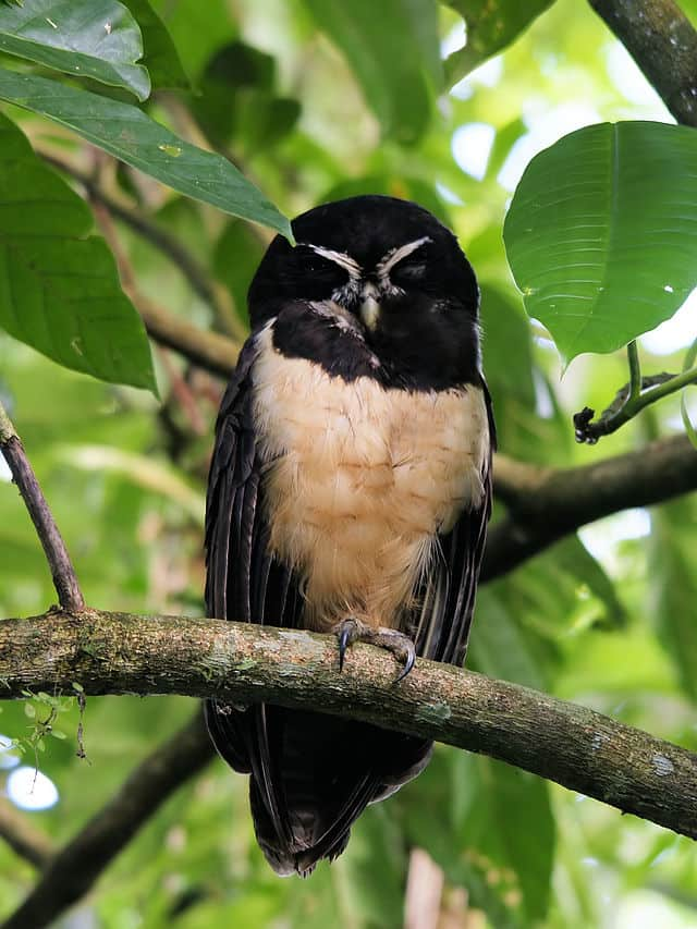 A spectacled owl will be part of Animal Embassy in Ridgefield.