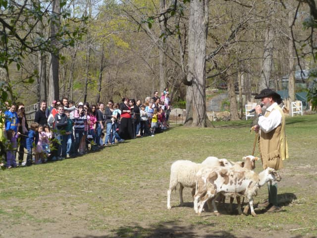 A scene from a previous festival, where activities include a demonstration of the shorning of  the  winter coats of sheep.