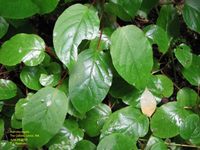 Leaves of the invasive hardy kiwi vine, which will be removed from Brinton Brook Sanctuary.