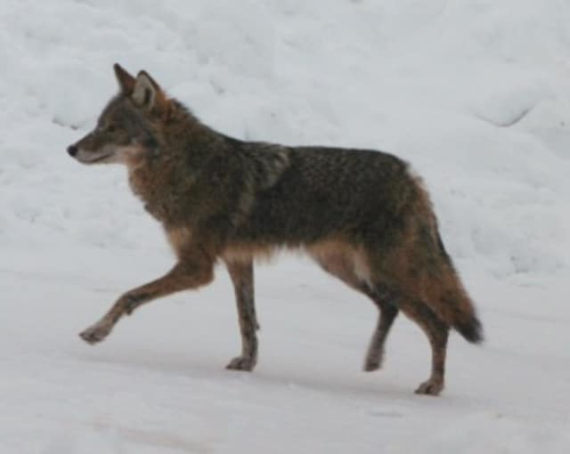 Muscoot Farm is hosting Coyote Awareness Day April 12.