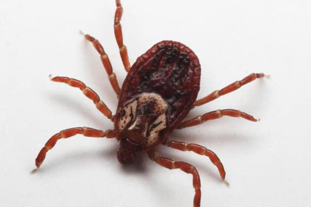 A tick-borne infection has similar symptoms to COVID-19.
