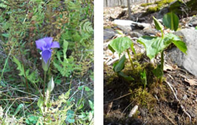 Early wildflowers are in bloom at Ward Pound Ridge Reservation.