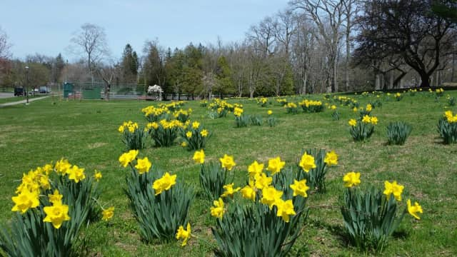 Flowers at Bruce Park in Greenwich. Could the week's warming trend bring early blossoms this week in Fairfield County?