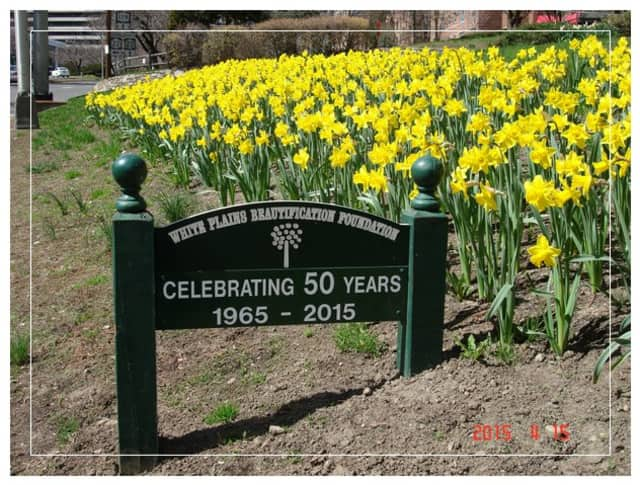 The White Plains Beautification Foundation purchased and planted more than 9,000 Dutch Master daffodil bulbs that are now in bloom.