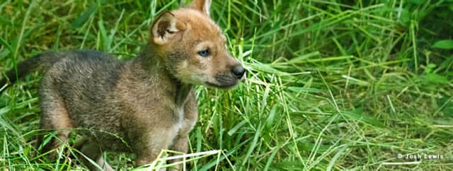 Celebrate mom and Mother Nature at The Wolf Conservation Center May 10.