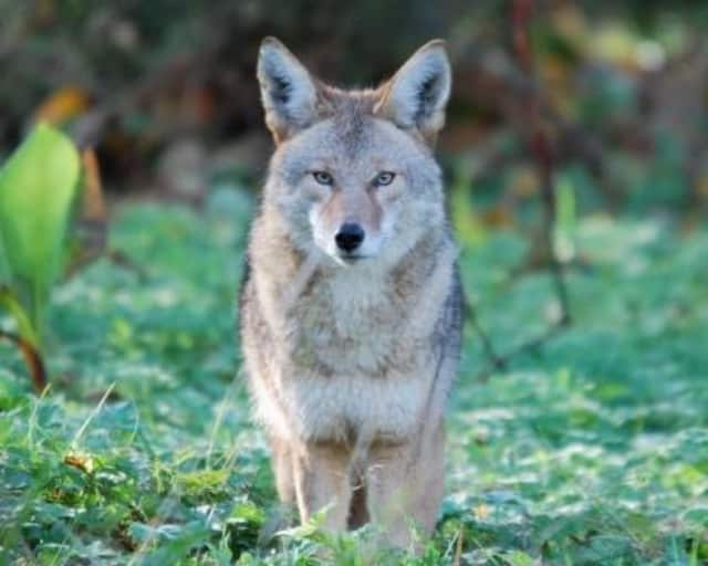 Darien polcie are warning of increased coyote sightings in town, and urging residents to be cautious.