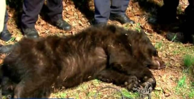 A black bear was found in a tree near the Bronx River Parkway in Yonkers Tuesday night.