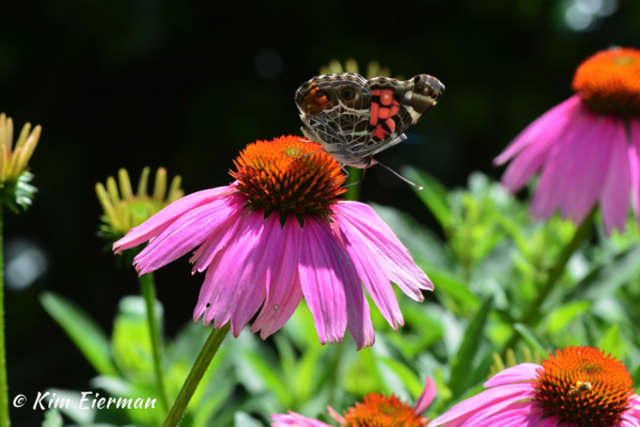 An American Lady butterfly on Coneflower.