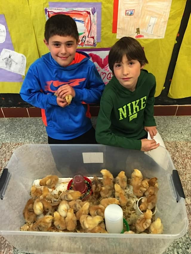 Students Dominic Ruggiero and Mateo Gallo (left to right) hold the chicks that hatched as part of the Pound Ridge Elementary School PTA sponsored Embryology and Incubation Program.
