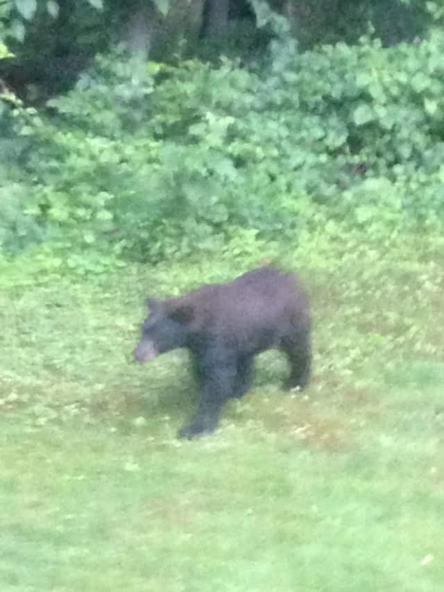 Black bears have been spotted in Easton.
