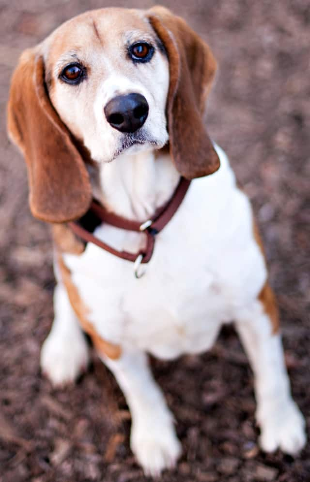 JoJo, a foxhound, is one of many adoptable pets available at the SPCA of Westchester in Briarcliff Manor.