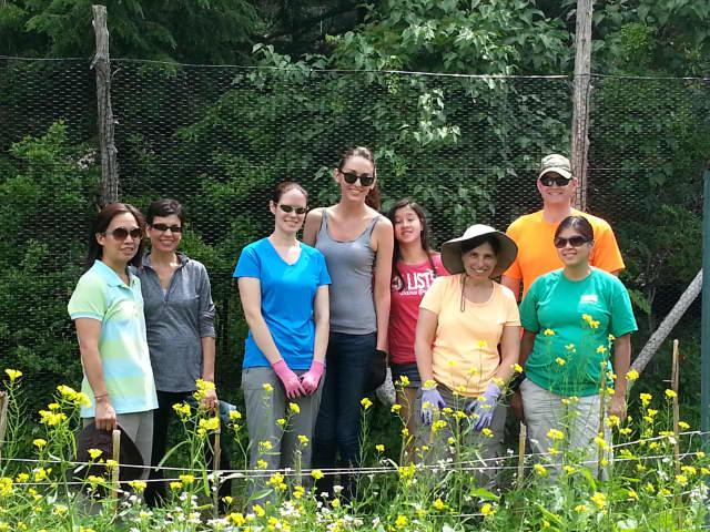 A group of volunteers from NUK, a division of Gerber, helped with weeding and the harvesting of crops at the Westchester Land Trust's Sugar Hill Farm.