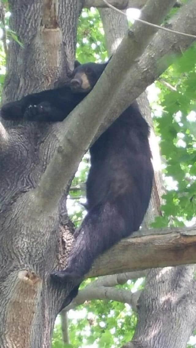A black bear cub takes a nap in a tree last year on Denise Terrace in Fairfield.