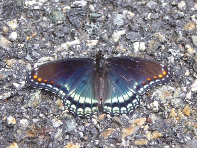 A Red-spotted purple butterfly.