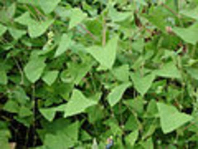 Mile-a-Minute is an invasive vine that can smother nearly everything in its path.