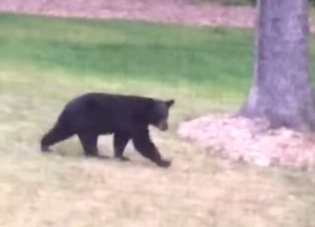 The 'Georgetown Bear' walks through a yard in Weston.