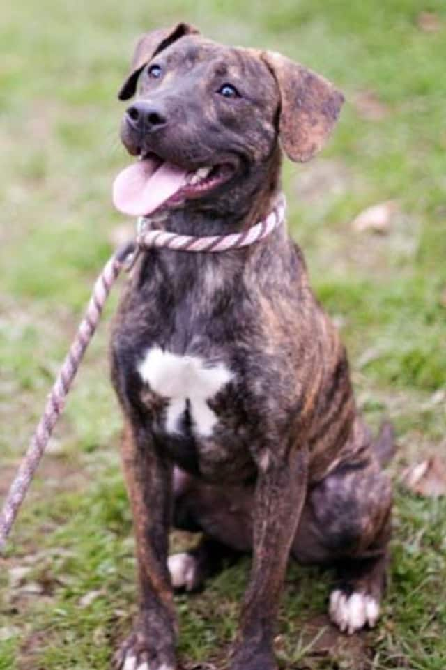 Annie, a mutt, is one of many adoptable pets available at the SPCA of Westchester in Briarcliff Manor.