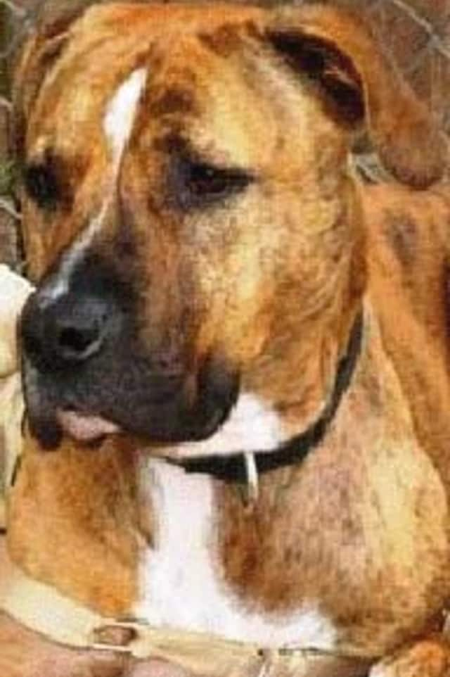 Tanner, a brindle mix, is one of many adoptable pets available at the Putnam Humane Society in Carmel.