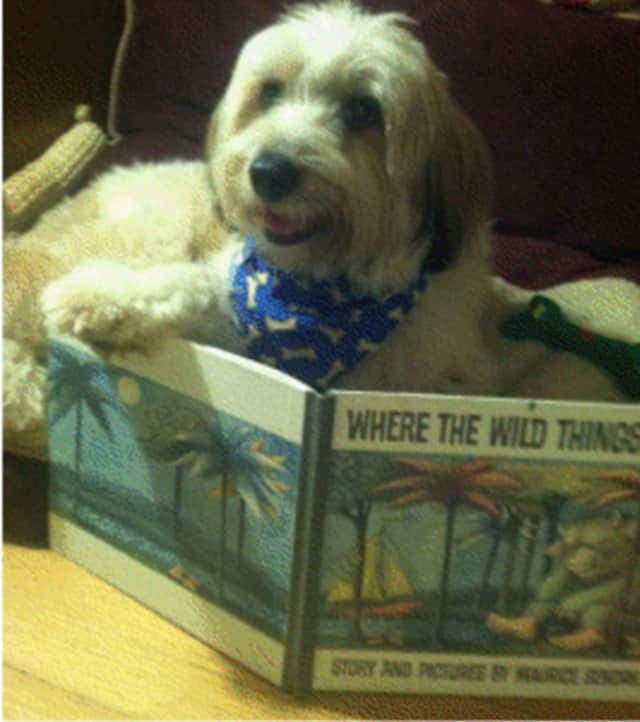 First- through fifth-graders can read with Fergus the dog at the Katonah Village Library on Thursday.