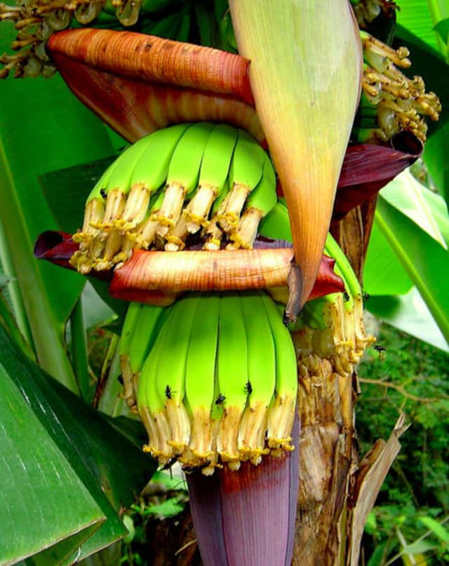 Global banana stocks may be under threat from a soil-borne fungus, according to a recent CNN report.