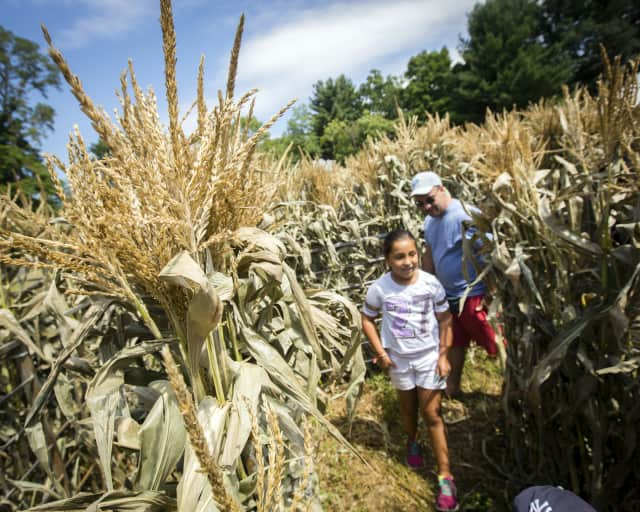 Visitors race through the maize maze at a previous CORNucopia at Philipsburg Manor in Sleepy Hollow.
