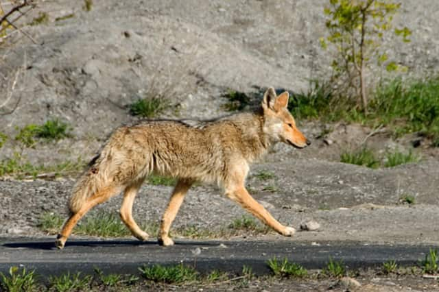 A coyote was recently seen in Ho-Ho-Kus.