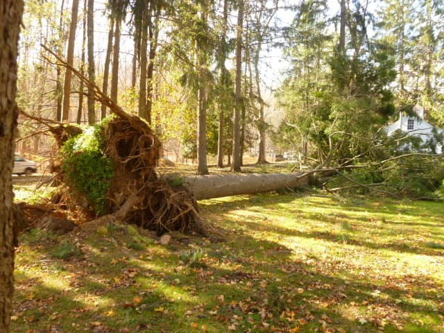 Hurricane Sandy knocked down several of the giant pine trees on the front lawn of the Pound Ridge Town House, including this one.