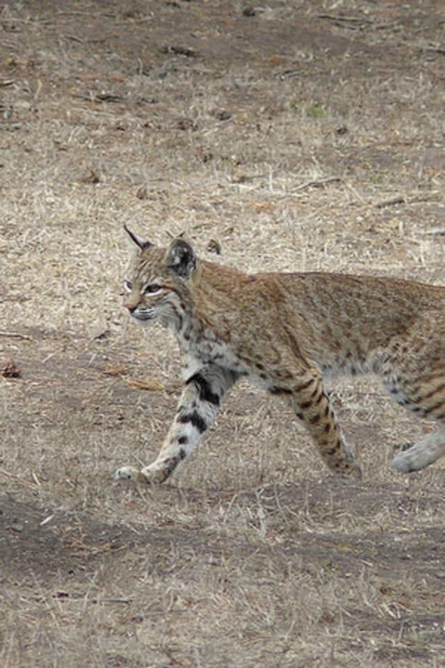 A wild bobcat.