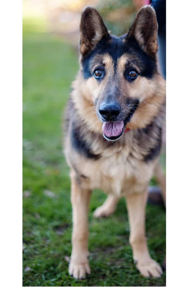 Lucky, a German shepherd, is one of many adoptable pets available at the SPCA of Westchester in Briarcliff Manor.